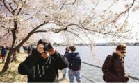 华盛顿特区最佳樱花拍摄点,捕捉最美的瞬间!