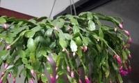 凌寒独自开可不是只有梅花,弄成2米高的蟹爪兰,得爬着梯子修剪