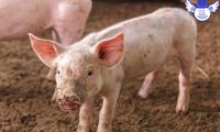 猪场防疫该注意哪些方面?这些小事不留意也会惹出大麻烦
