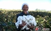 威县:40多万亩棉花喜获丰收(图)