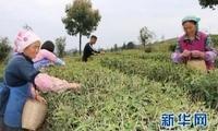 """贵州紫云:茶园""""染""""绿荒山 贫困户吃上""""产业饭"""